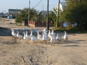 Веселые гуси моей деревни. Фотограф Ильмира Абузярова