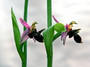 Цветок Хары бульбуль
